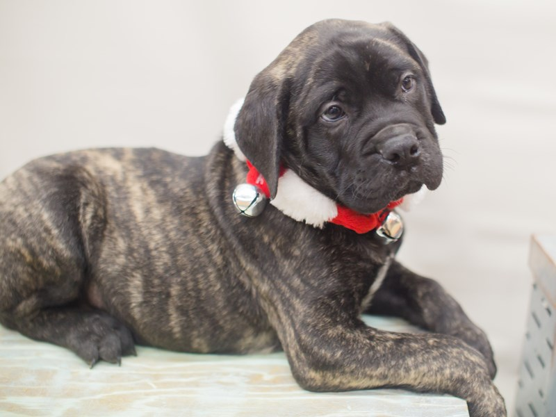 Bull Mastiff-DOG-Male-Brindle-2229273-Petland Wichita, KS