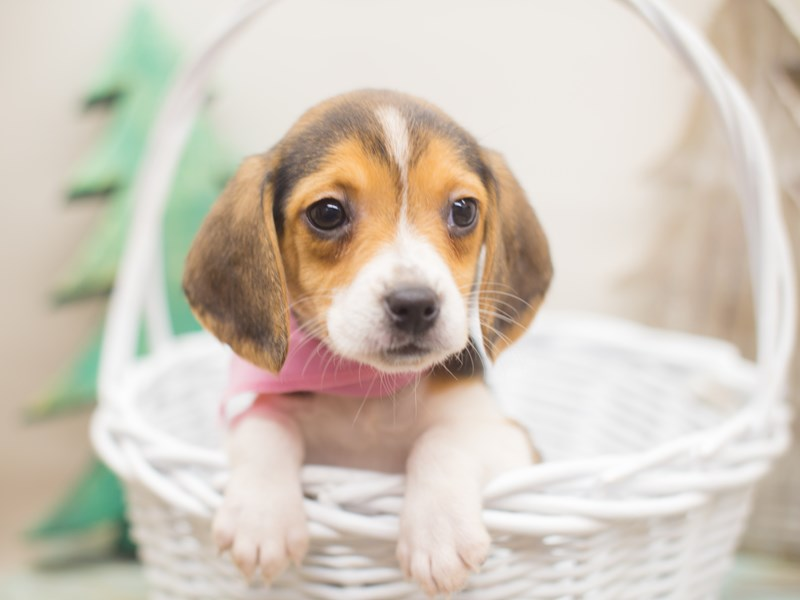 Beagle-DOG-Female-Black White and Tan-2229004-Petland Wichita, KS