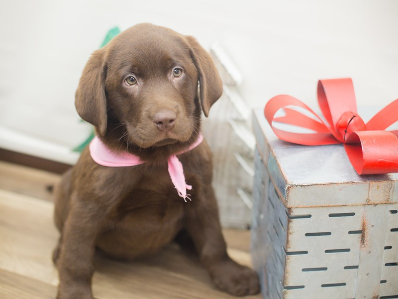 Labrador Retriever-DOG-Female-Chocolate-2228990-Petland Wichita, KS