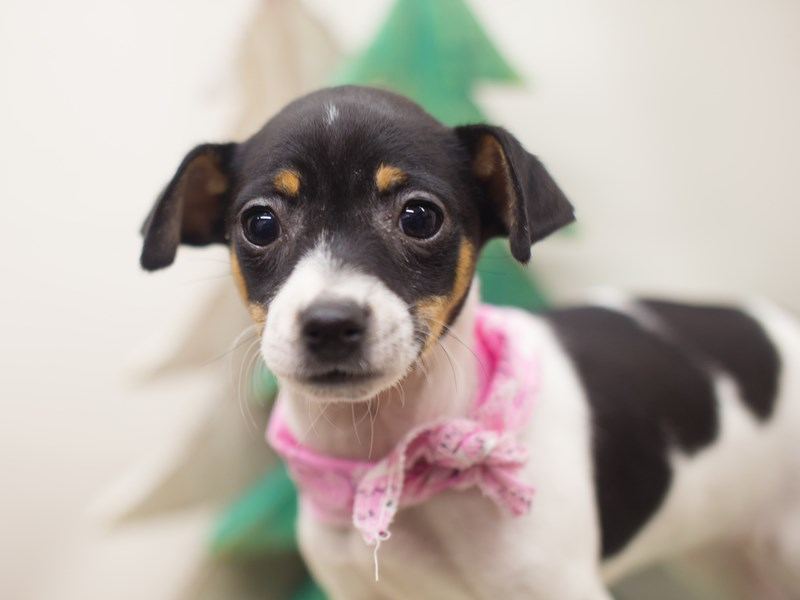 Rat Terrier-Female-Tri Color-2229260-Petland Wichita, KS