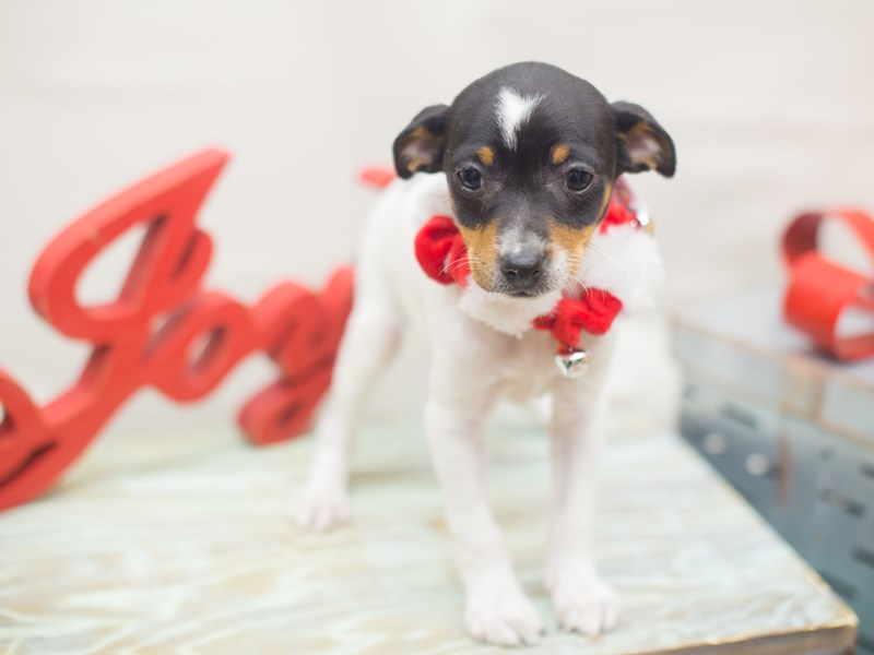 Rat Terrier-Female-Tri Color-2229267-Petland Wichita, KS