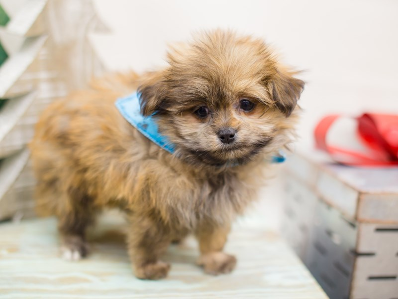 Shihpom-DOG-Male-Dark Sable-2234072-Petland Wichita, KS
