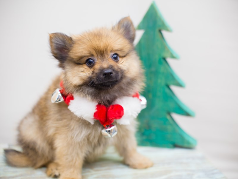 Pomeranian-DOG-Male-Red Sable-2234045-Petland Wichita, KS