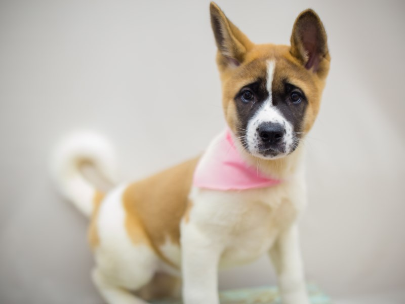 Akita-DOG-Female-Brown and White-2225841-Petland Wichita, KS