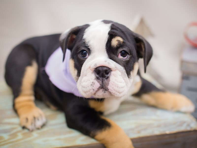 English Bulldog-DOG-Female-Tri Color-2241291-Petland Wichita, KS