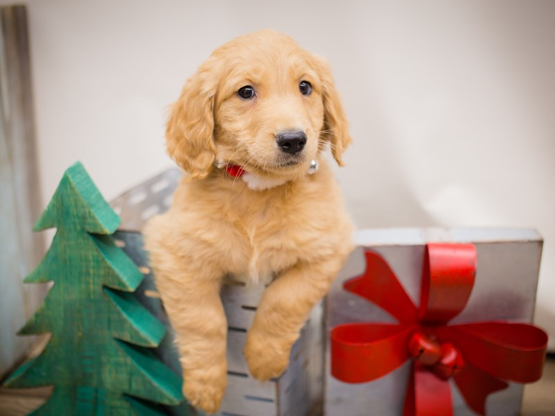 Goldendoodle-DOG-Male-Golden-2241199-Petland Wichita, KS