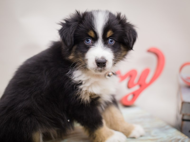 Miniature Australian Shepherd-DOG-Male-Black Tri-2241191-Petland Wichita, KS