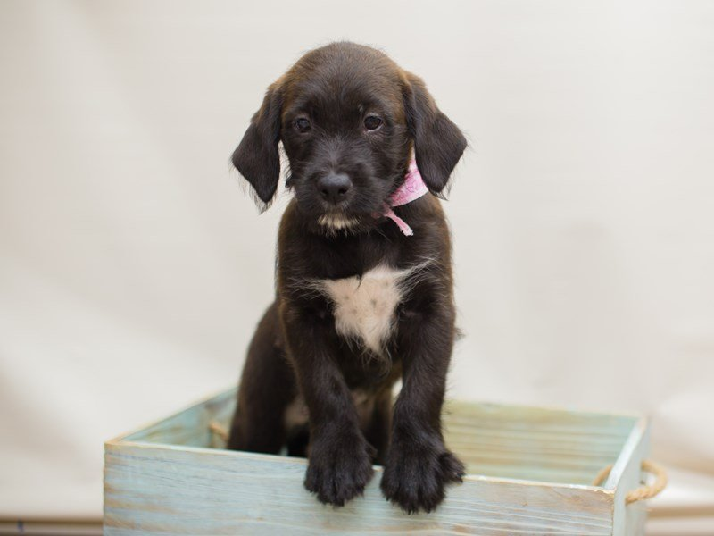Labradoodle-Female-Chocolate-2219789-Petland Wichita, KS