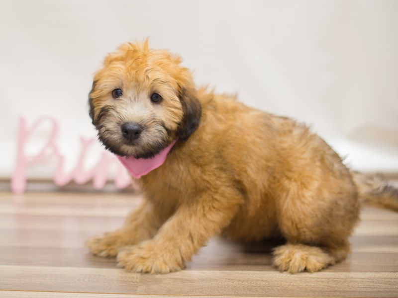 Soft Coated Wheaten Terrier Dog Female