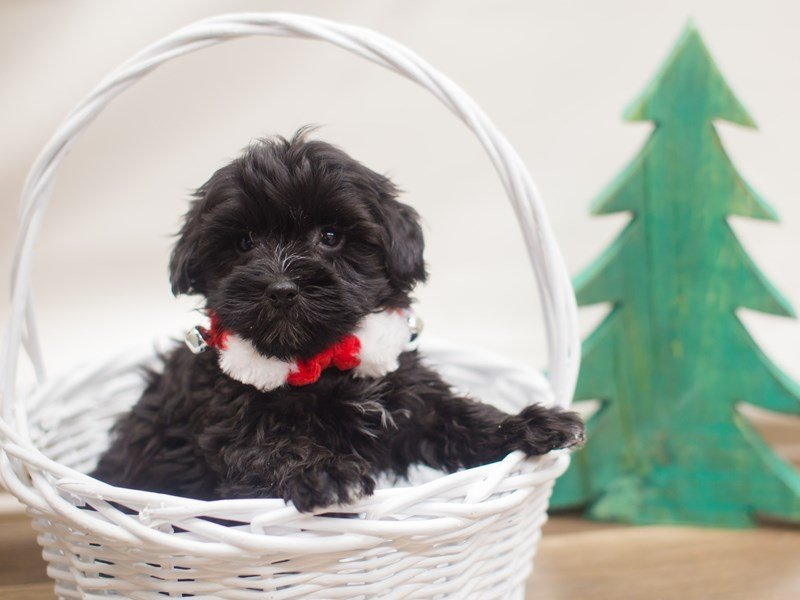 Havanese-DOG-Male-Black-2223968-Petland Wichita, KS