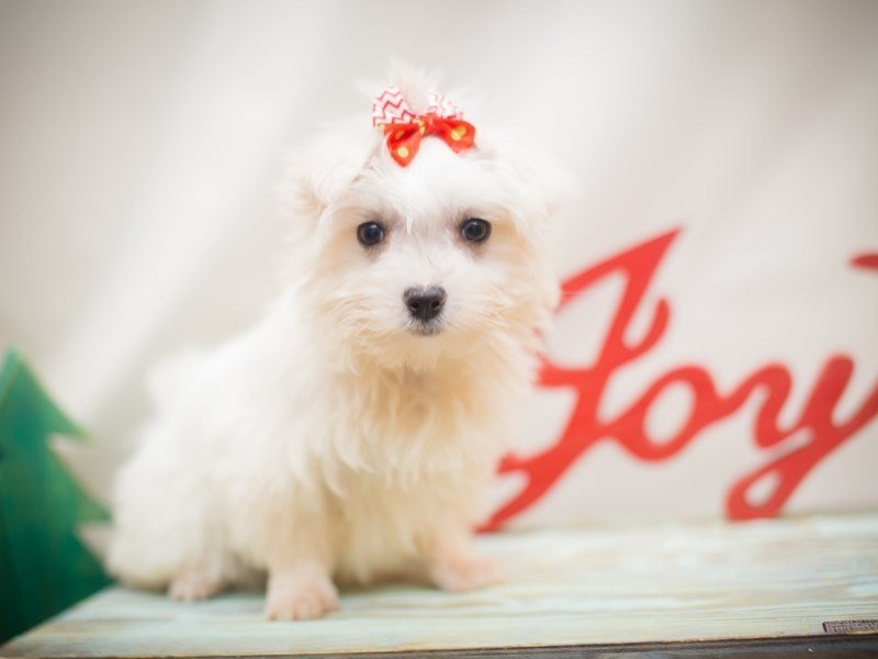 Maltese-Female-White-2223926-Petland Wichita, KS