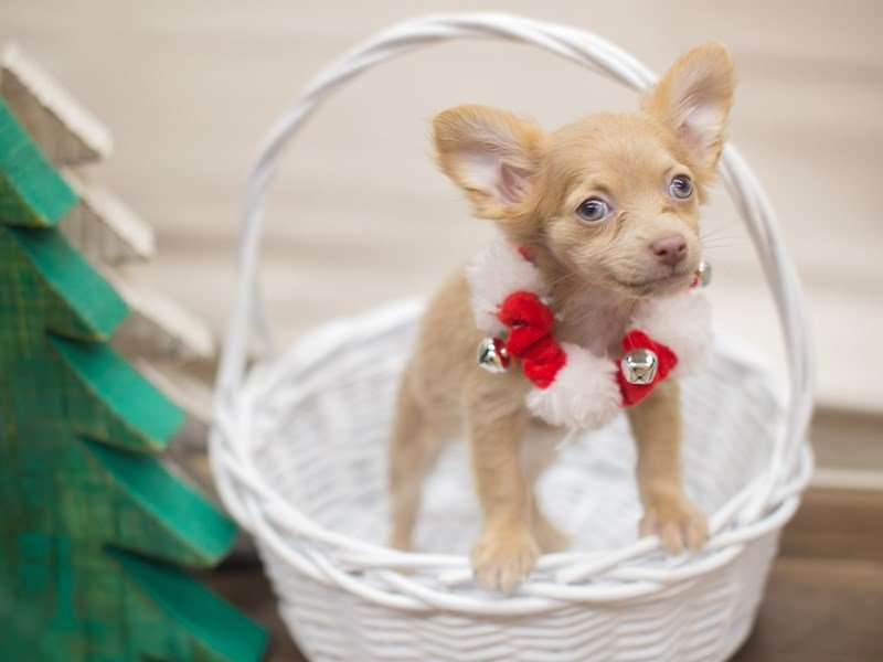 Chihuahua-Female-Fawn-2229251-Petland Wichita, KS