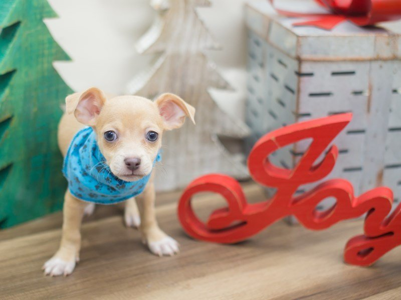 Chihuahua-DOG-Male-Fawn-2229248-Petland Wichita, KS