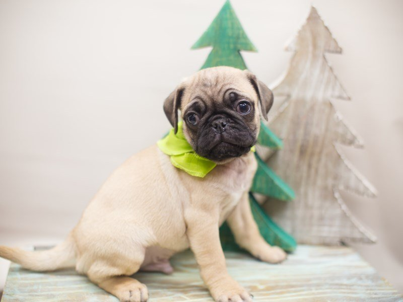 Pug-DOG-Male-Fawn-2228968-Petland Wichita, KS