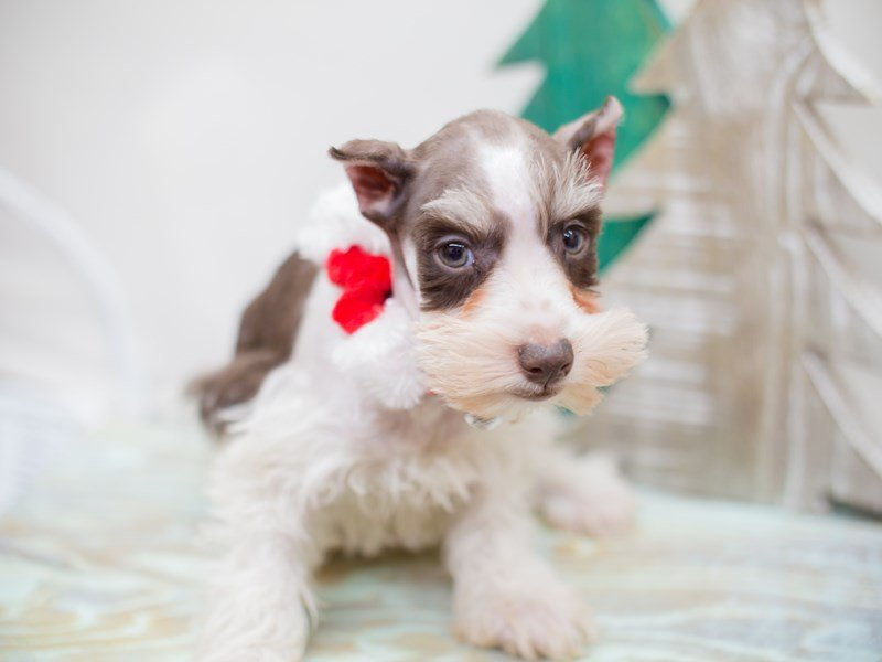Miniature Schnauzer-DOG-Male-Chocolate and Whtie-2234276-Petland Wichita, KS