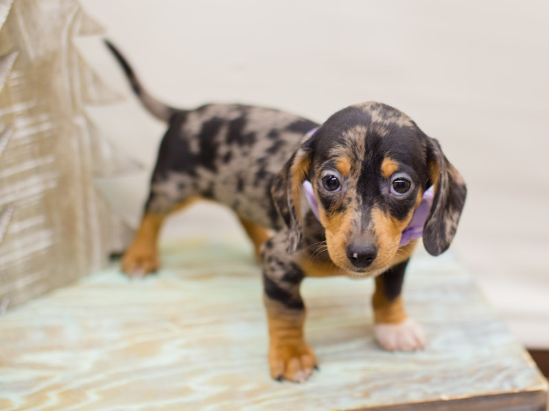 Miniature Dachshund-DOG-Female-Silver Dapple-2234259-Petland Wichita, KS