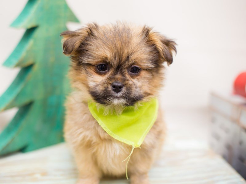 Shihpom-Male-Dark Sable-2234071-Petland Wichita, KS