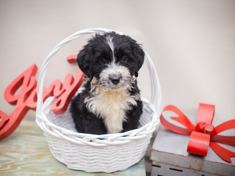 Aussiedoodle-DOG-Female-Black and White-2241308-Petland Wichita, KS