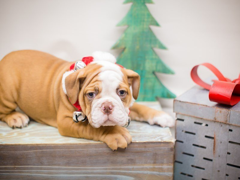 English Bulldog-DOG-Male-Red and White-2241300-Petland Wichita, KS