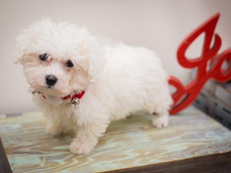 Bichon Frise-Male-White-2241227-Petland Wichita, KS
