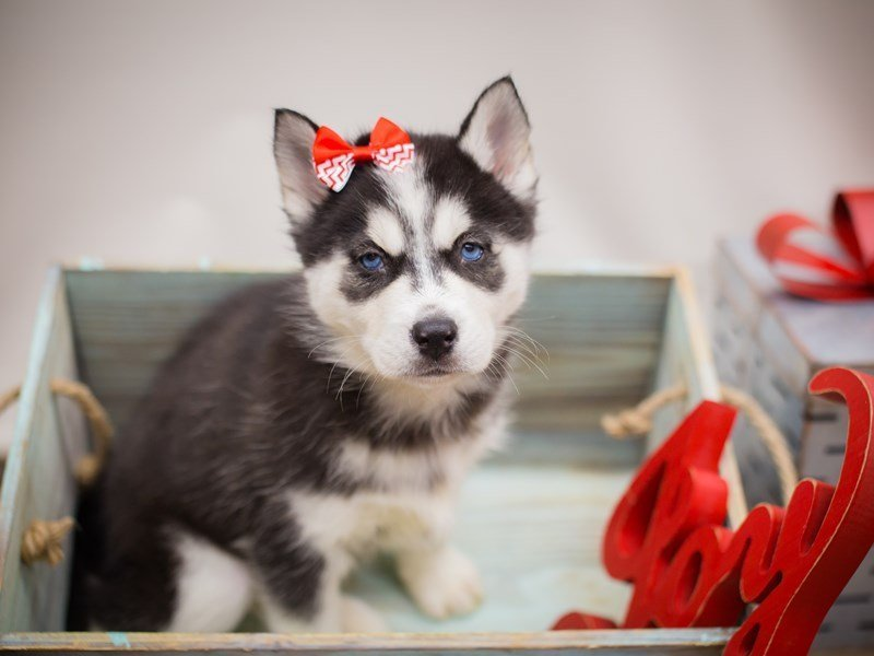 Siberian Husky-DOG-Female-Black and White-2241213-Petland Wichita, KS