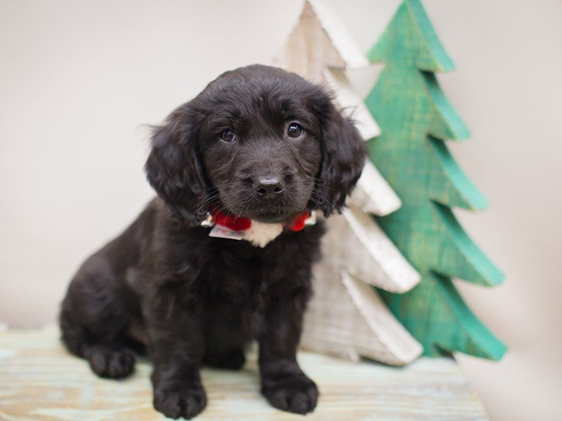 Goldendoodle-Male-Black-2241202-Petland Wichita, KS