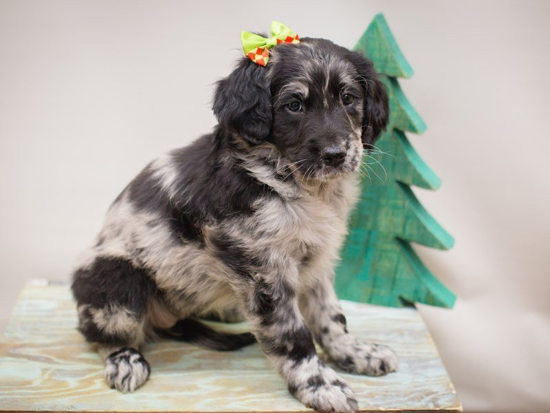 Goldendoodle-Female-Blue Merle-2241198-Petland Wichita, KS