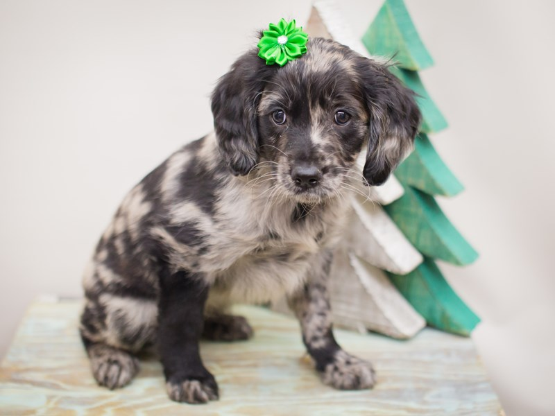 Goldendoodle-Female-Blue Merle-2241197-Petland Wichita, KS
