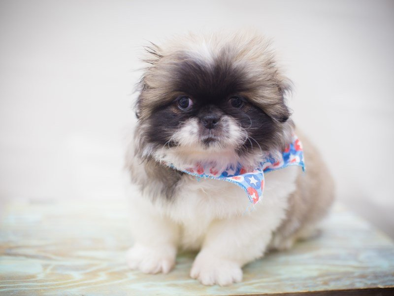 Pekingese-DOG-Male-Sable & white-2245713-Petland Wichita, KS