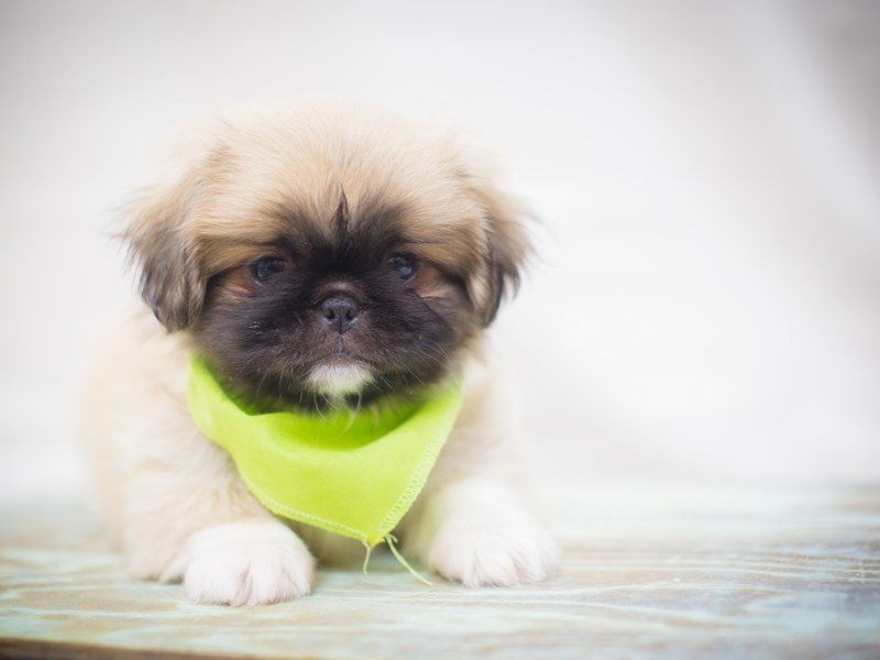 Pekingese-Male-Sable-2245688-Petland Wichita, KS