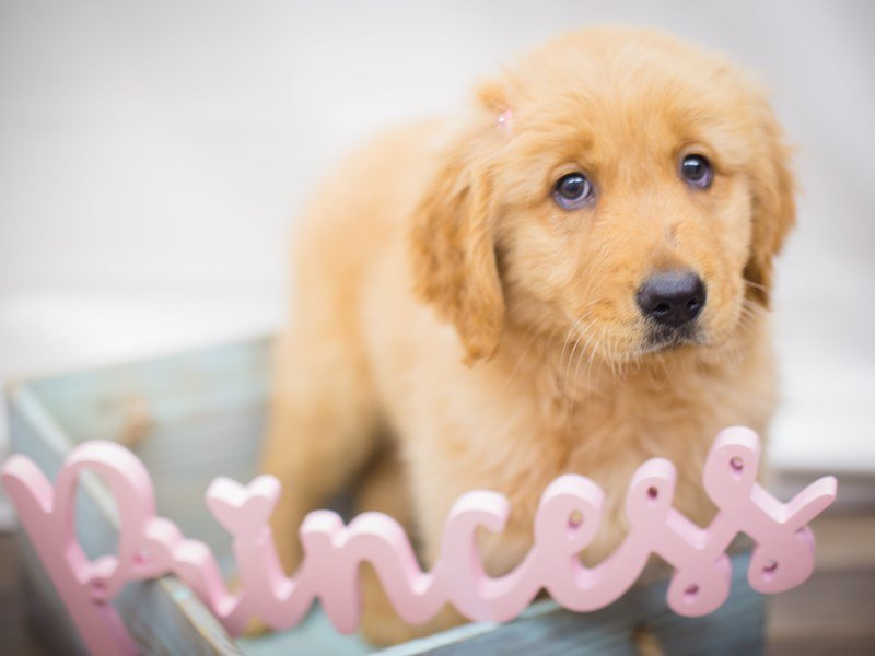 Golden Retriever-DOG-Female-Golden-2243175-Petland Wichita, KS