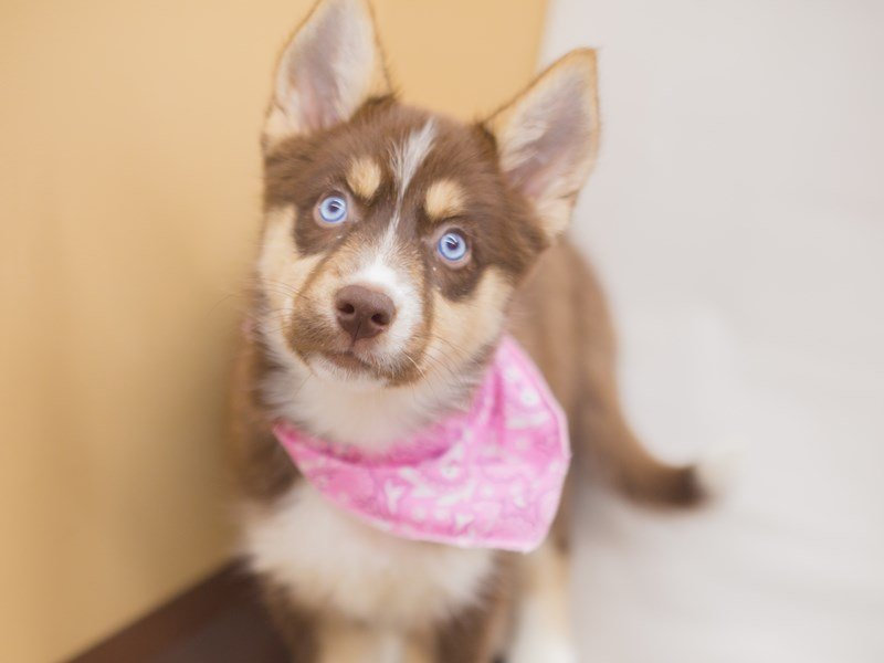 Siberian Aussie-DOG-Female-Red and White-2240410-Petland Wichita, KS