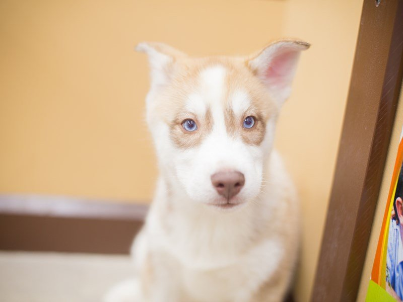 Siberian Husky-DOG-Male-Red and White-2250289-Petland Wichita, KS