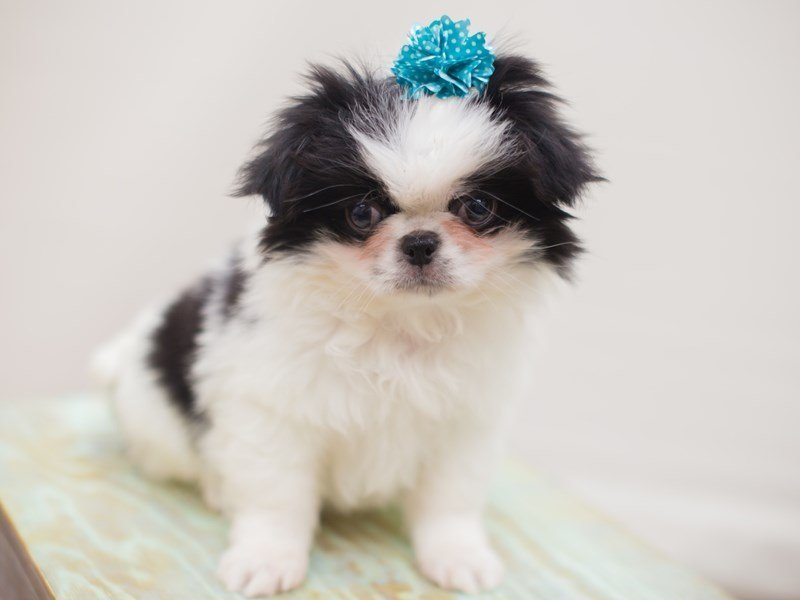 Japanese Chin-Female-Black and White-2250265-Petland Wichita, KS