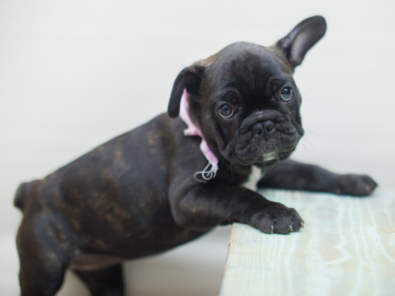 French Bulldog-DOG-Female-Brindle & White-2250439-Petland Wichita, KS
