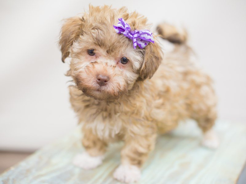 Havanese-DOG-Female-chocolate-2249750-Petland Wichita, KS