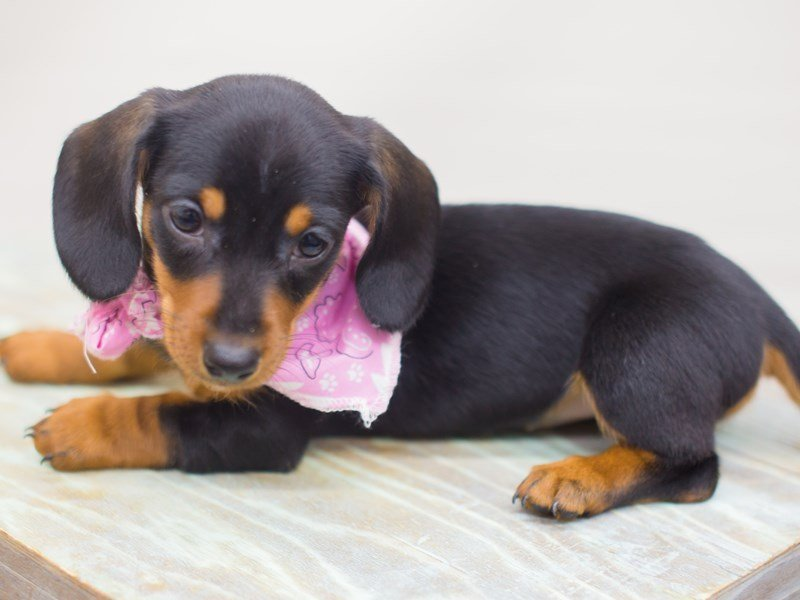 Miniature Dachshund-DOG-Female-Black and Tan-2249740-Petland Wichita, KS