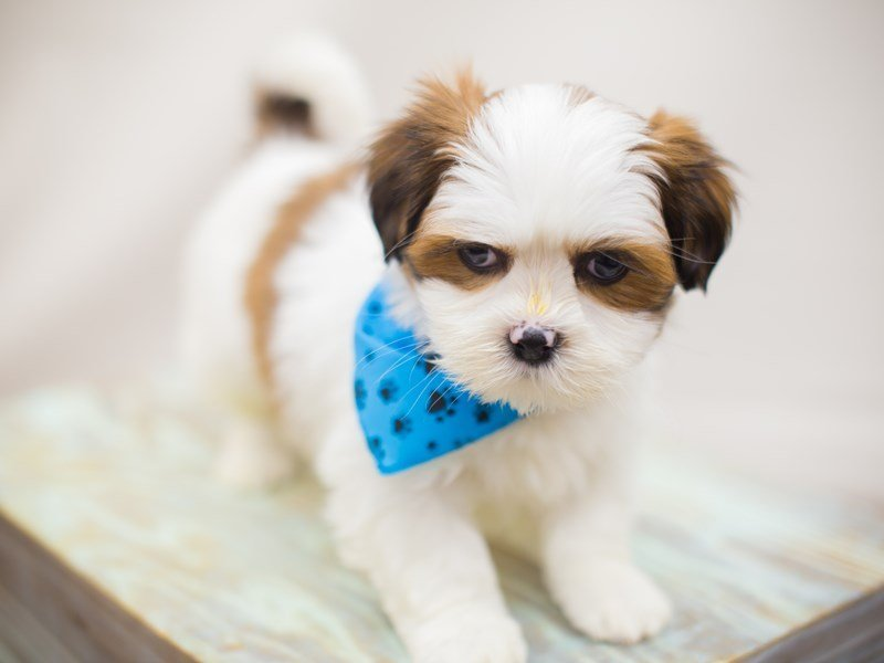 Lhasa Apso-Male-BROWN AND WHITE-2249779-Petland Wichita, KS