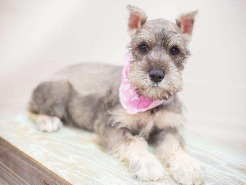 Miniature Schnauzer-DOG-Female-salt & pepper-2249618-Petland Wichita, KS