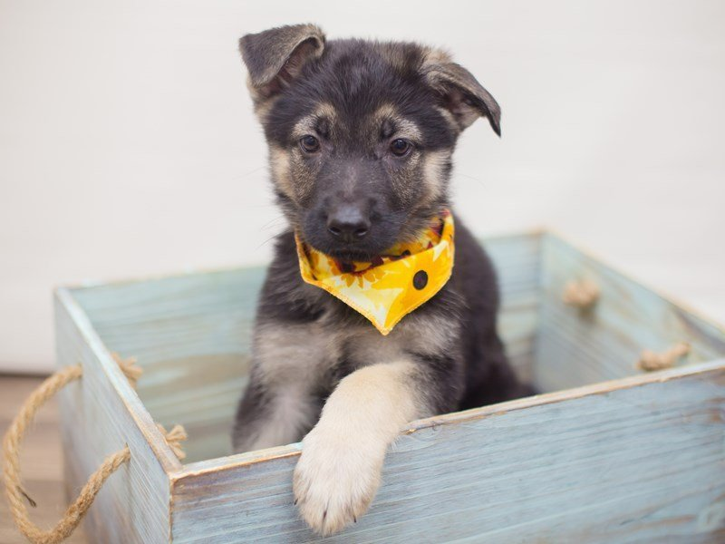 German Shepherd Dog-DOG-Female-Black & Tan-2248487-Petland Wichita, KS