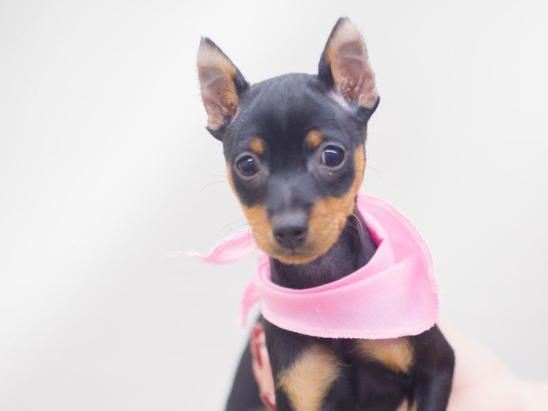 Miniature Pinscher-DOG-Female-Black & Tan-2248440-Petland Wichita, KS
