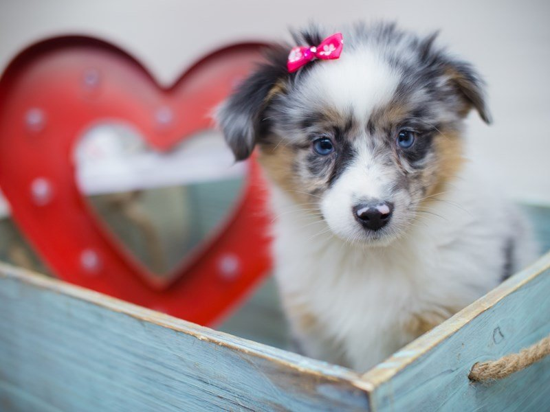 Miniature Australian Shepherd-DOG-Female-BLUE MERLE-2255597-Petland Wichita, KS