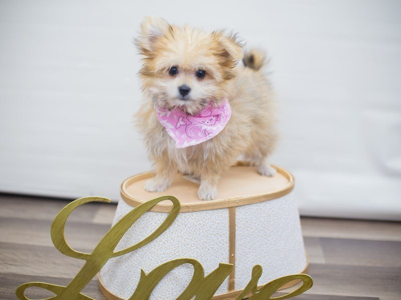 Maltipom-DOG-Female-SABLE-2255561-Petland Wichita, KS