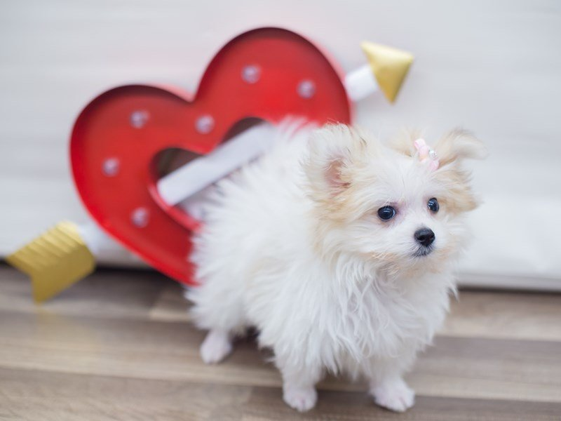 Maltipom-DOG-Male-Cream and White-2255557-Petland Wichita, KS