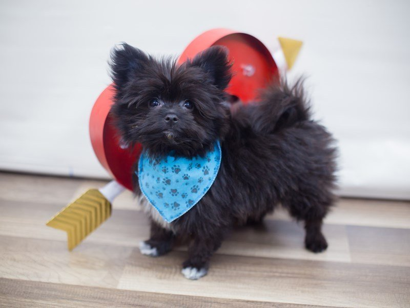 Maltipom-DOG-Male-BLACK-2255550-Petland Wichita, KS