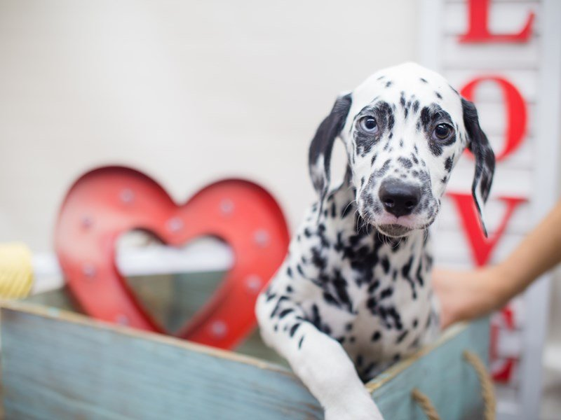 Dalmatian-Male-White and Black-2249531-Petland Wichita, KS