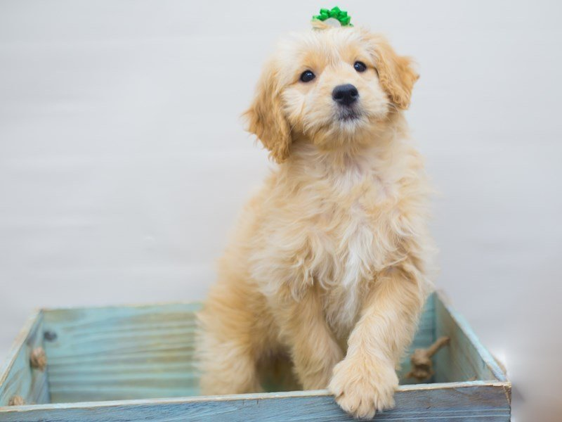 Miniature Goldendoodle-Female-Golden-2250519-Petland Wichita, KS