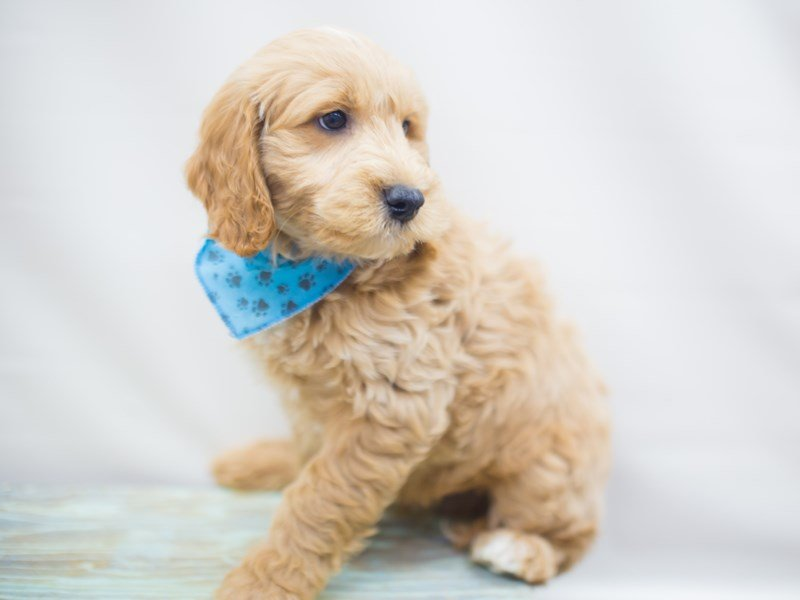 Miniature Goldendoodle-Male-Golden-2250517-Petland Wichita, KS