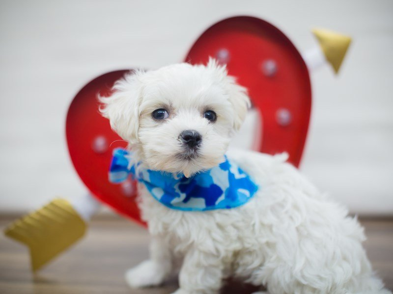 Maltese-Male-White-2261315-Petland Wichita, KS