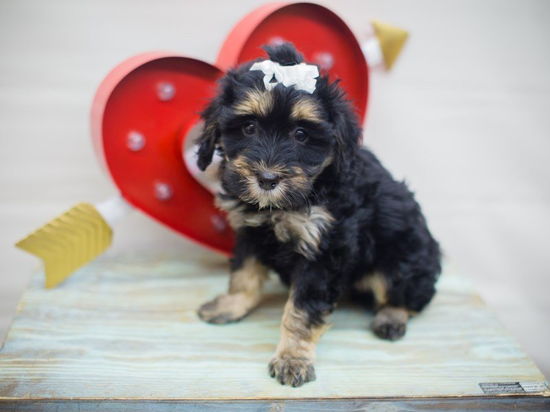 Havapoo-Female-Black and Tan-2261263-Petland Wichita, KS